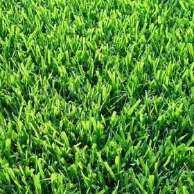 Lawn SUPER of Zoysia Japonica
